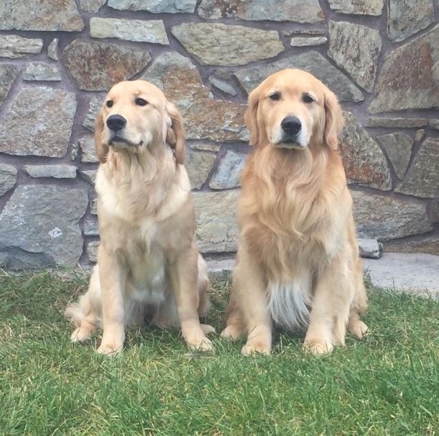 Beargrass Golden Retrievers | A great WordPress.com site